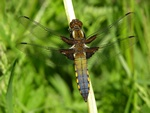 Bl Libel (Libellula depressa)